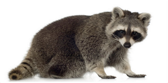 Raccoon, rabies, public health